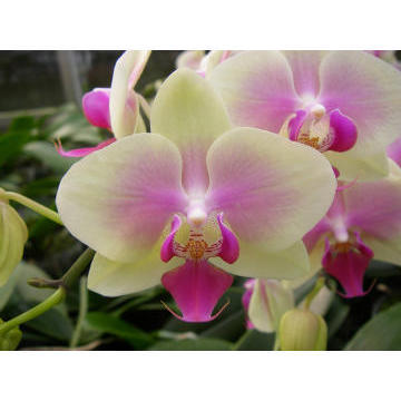Orchid CY15