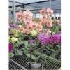 Phalaenopsis HO-35