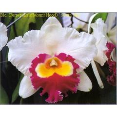 Orchid (Blc. Mount Hood x Blc. Perse Polis) 'Seven Star'