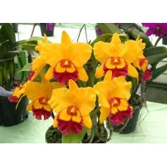 Orchid Blc. Chunyeah 'CU#17'