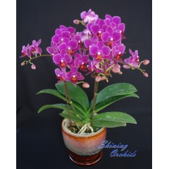 Phalaenopsis SN 23