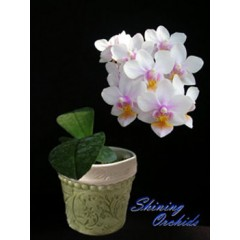 Phalaenopsis SN 24