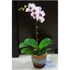 Phalaenopsis SN 41