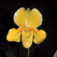 Paph. In-Charm Gold 'Chouyi #7' (Emerald Magic  x  helenae)