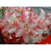 Pink Pearl (Hippeastrum hybridum Hort, Amaryllis) Amaryllis TSS No.1