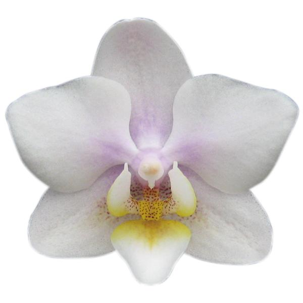 Orchid Fragrance 8699