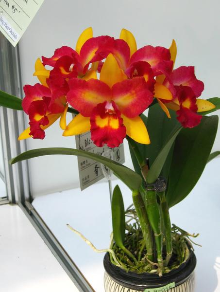 Mid type Cattleya Orchid