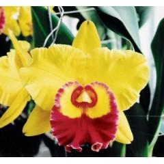 Orchid Blc. Chunyueh 'Good Life #1'