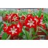 Cardinal Hot (Hippeastrum hybridum Hort, Amaryllis) Amaryllis TSS No.4