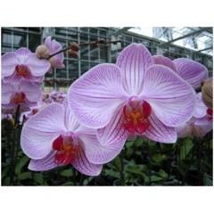 Phalaenopsis Cut Flower White w/ Stripes