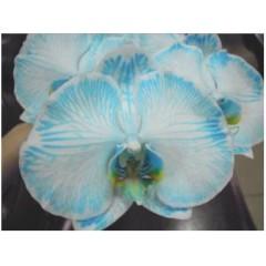 Phalaenopsis Cut Flower Dyed
