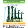 Pachira (Money Tree) Finished Plant