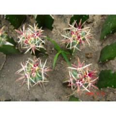 Mini cactus 9 cm pot