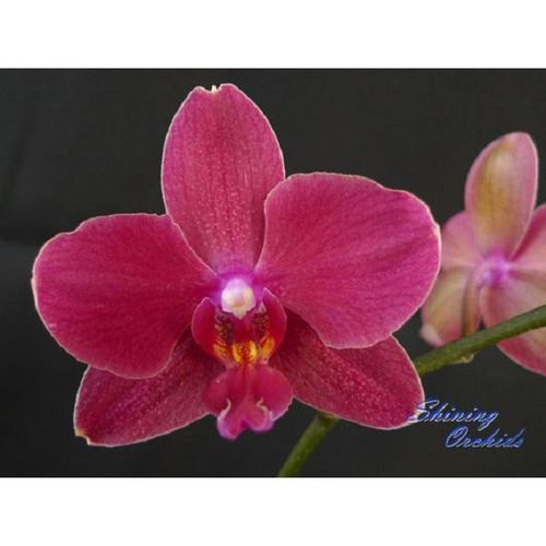 (Phal. Golden Sun- Phal. Brother Danseuse) x Dor. Chian Huey Rose