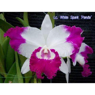 Lc. White Spark 'Panda'