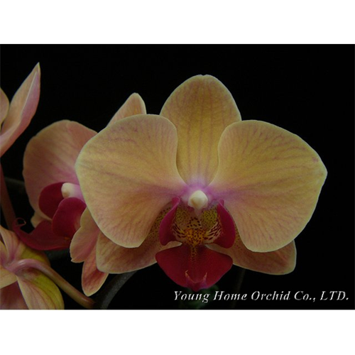 YH0008             Phal. Young Home Sweety