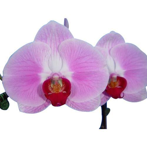 Orchid 09