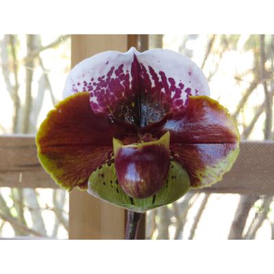 Paphiopedilum Cocoa WinSholt