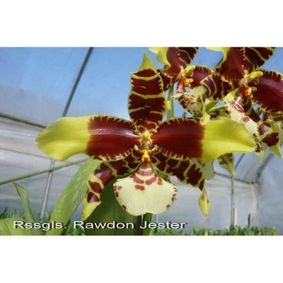 Orchid Rssgls. Rawdon Jester 'Great Bee' GV-Odm002