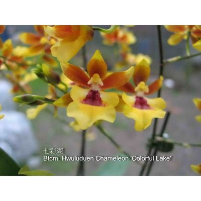 Btcm. Hwuluduen Chameleon 'Colorful Lake'