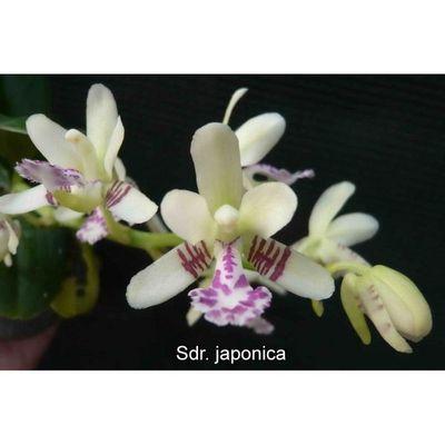 Sdr. japonica