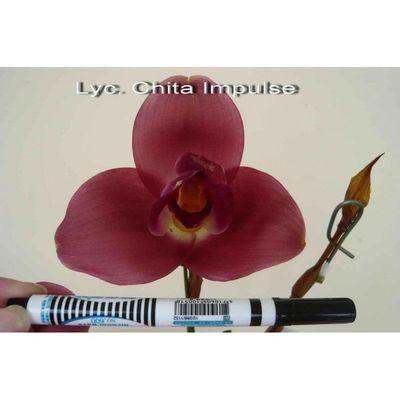 Lyc. Chita Impulse #2