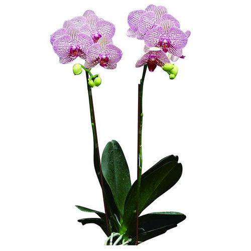 (Brother Girl - Leopard Prince) A09757 - Phalaenopsis