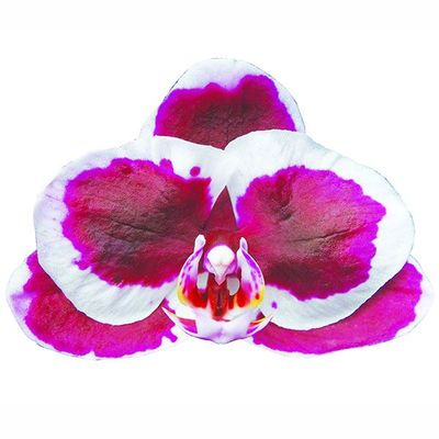Taida Spot Dog A07542 - Phalaenopsis