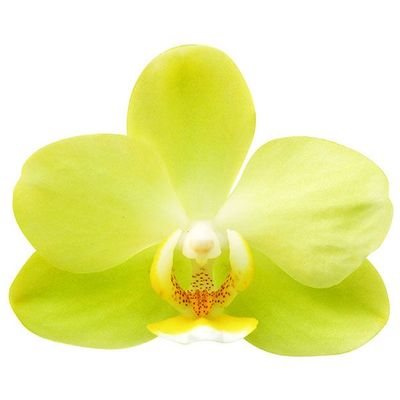 Pure Moon 'Green Pixie' A07488 - Phalaenopsis