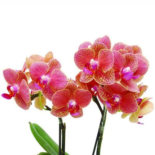 Sogo Vieker 'Taida Honey Peach' A07391 - Phalaenopsis