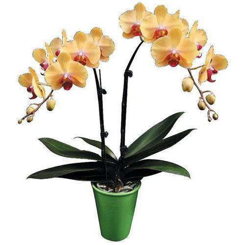 Chian Xen Queen A07175 - Phalaenopsis
