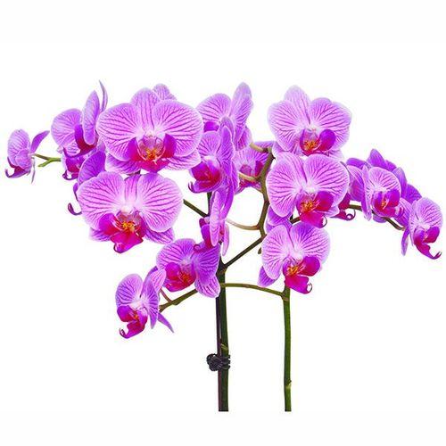 Formosa Mini 'Taida Pinky' A07068 - Phalaenopsis