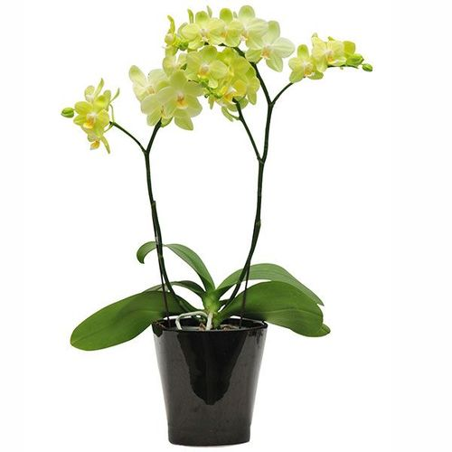 Taida Smile 'Taida Little Green' A06371 - Phalaenopsis
