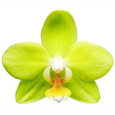 Taida Smile 'Taida Little Green' A06371 - Phalaenopsis