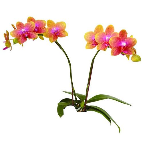 Brother Sara Gold A05724 - Phalaenopsis