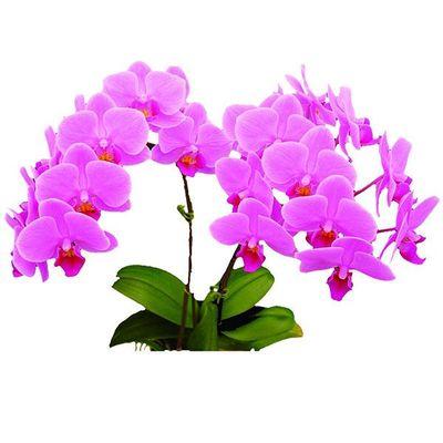 Wedding Promenade A02945 - Phalaenopsis