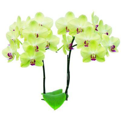 Fortune Saltzman A02248 - Phalaenopsis