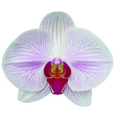 OX Honey A10139 - Phalaenopsis