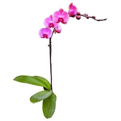 Taida Momoko A09903 - Phalaenopsis
