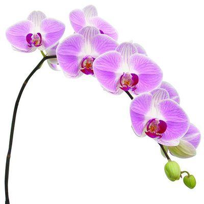 OX Honey A09841 - Phalaenopsis