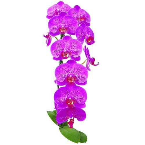 Taida Black Pearl A07512 - Phalaenopsis