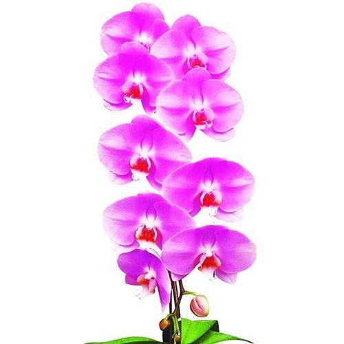 Taida Lovely 'Taida Pink Swan' A06990 - Phalaenopsis