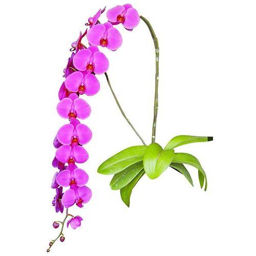 V31 A06169 - Phalaenopsis