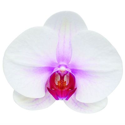Mount Lip A04268 - Phalaenopsis