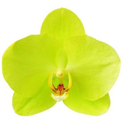 Green Yellow 'Green Joe' A05001 - Phalaenopsis