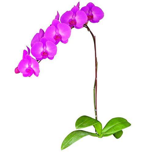 Taida Pink Beauty 'Pink Girl' A05667 - Phalaenopsis