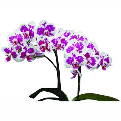 Taida Little Deer A07551 - Phalaenopsis