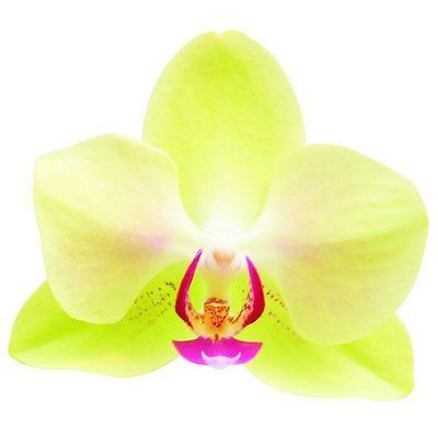 Fortune Faltzman A07962 - Phalaenopsis