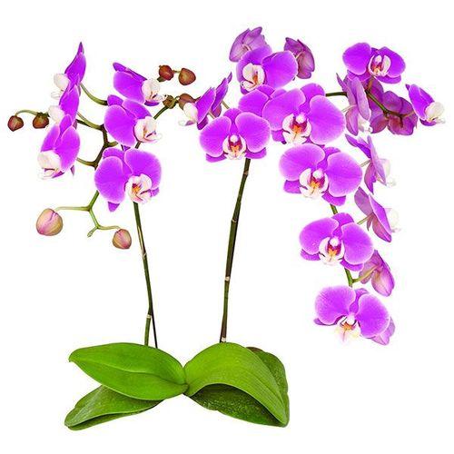 Taida Blush 'Taida Pink Butterfly' A08037 - Phalaenopsis