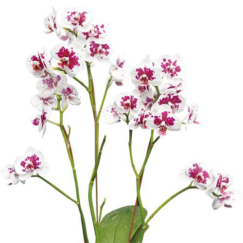 Taida Count A08309 - Phalaenopsis